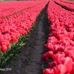 Tulpen uit...