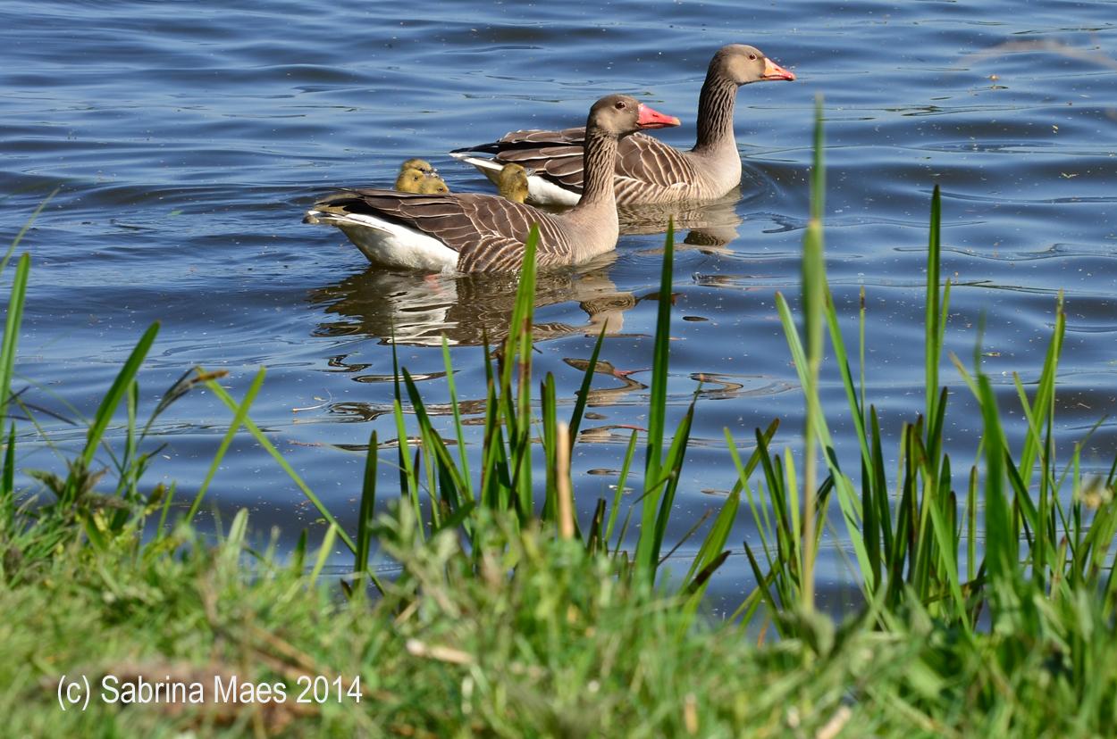 Happy Duck Family